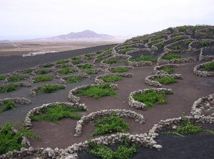 Vines growing on organic soils in the Canaries